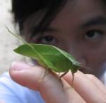 Leaf Insect near Moonmilk Cave in Gunung Mulu National Park, Malaysia