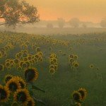 """Sunflowers Greeting a New Day"" by jedzer"