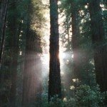 Redwoods and Light in Muir Woods National Monument, Northern California by Gregory Foster (May 2001)