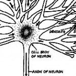 """A neuron and its tangle of connections: signals are funneled into the cell through the dendrite and sent out through the axon."""