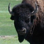 Buffalo in Badlands National Park (Interior, South Dakota: May 19, 2005)
