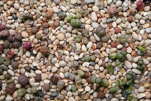 "Lithops, sometimes referenced as ""living stones"""